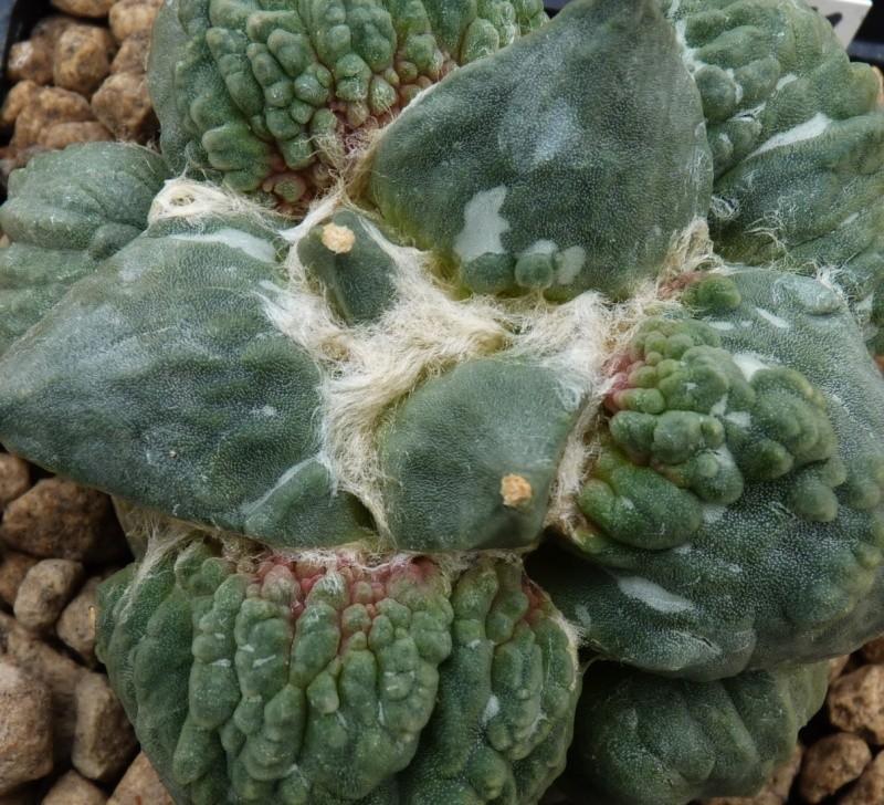 Ariocarpus cauliflower Caulif10