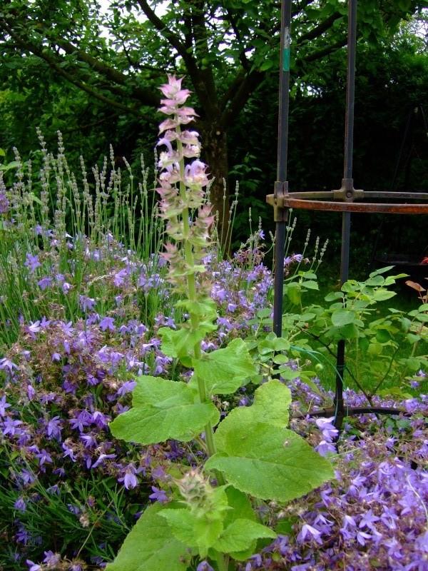 Unterfamilie Nepetoideae der Lippenblütler (Lamiaceae) - z.B. Basilikum, Thymian, Melisse, Salbei u.v.m. Dscf5910