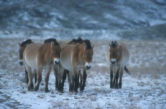 Chevaux sauvages dans troupeau domestique ou semi-domestique? Resize10