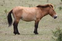 Chevaux sauvages dans troupeau domestique ou semi-domestique? Sstapa10