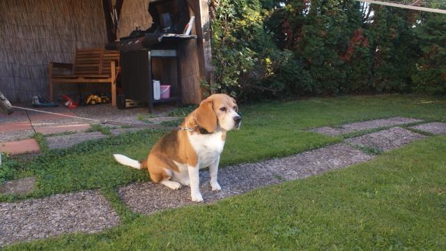 [A donner] Ciro beagle mâle castré de 7 ans région Neuchâtel (Suisse) Ciro_110