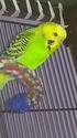 "Ma perruche ""Petit Oiseau"" mâle ou femelle? Wp_20129"