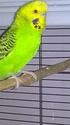 "Ma perruche ""Petit Oiseau"" mâle ou femelle? Wp_20130"