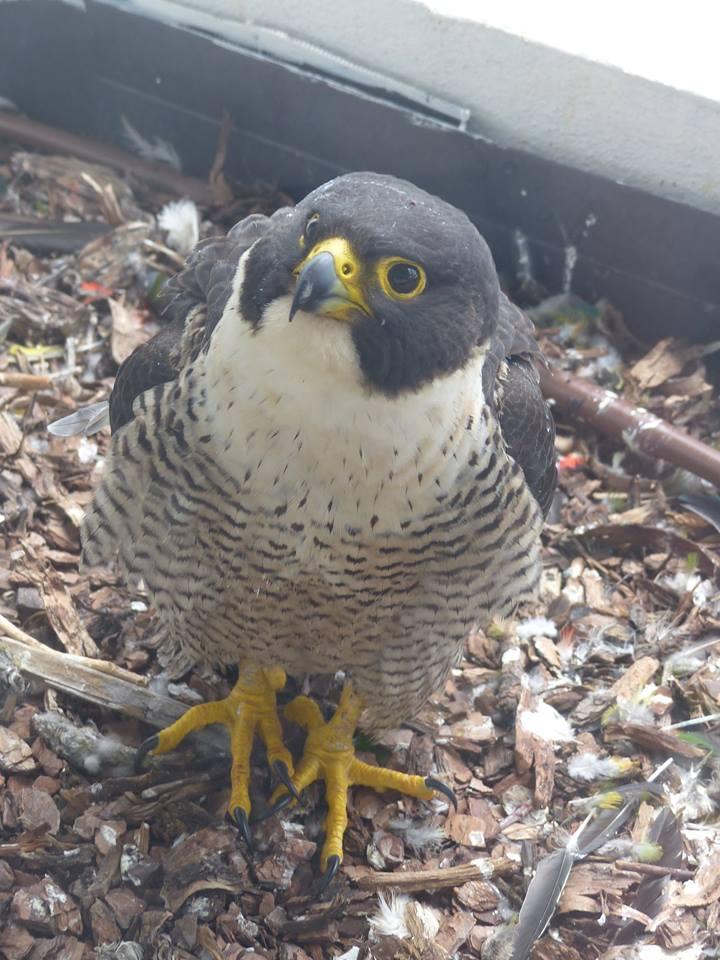 Robyn Hills Falcons 2013 tot en met 2020 - Pagina 3 10336710