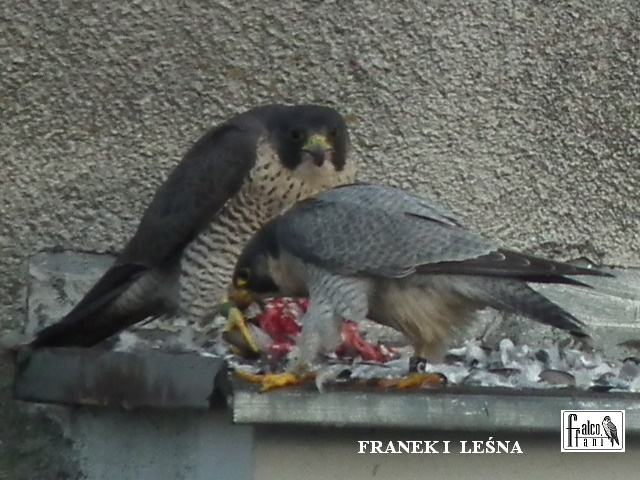 Warszawa Bielany 2014.  Jola( geen ringen) ~ Franek (zwarte ring) Nieuw vrouwtje Lesna. - Pagina 6 10394010
