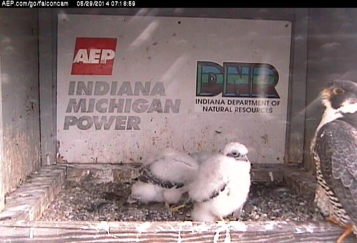 Indiana/Fort Wayne,I-AEP: Jamie(92/D) en Moxie(99/E) 2014 - Pagina 3 Falcon11