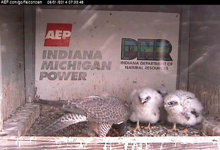 Indiana/Fort Wayne,I-AEP: Jamie(92/D) en Moxie(99/E) 2014 - Pagina 3 Falcon15