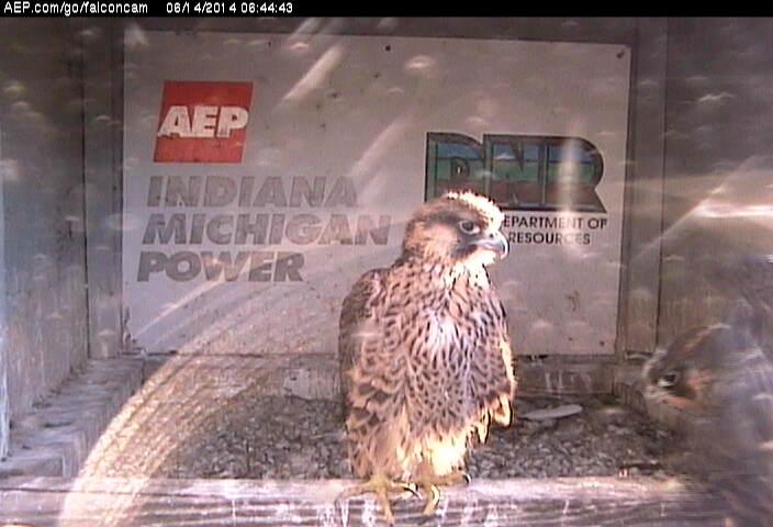 Indiana/Fort Wayne,I-AEP: Jamie(92/D) en Moxie(99/E) 2014 - Pagina 3 Falcon21