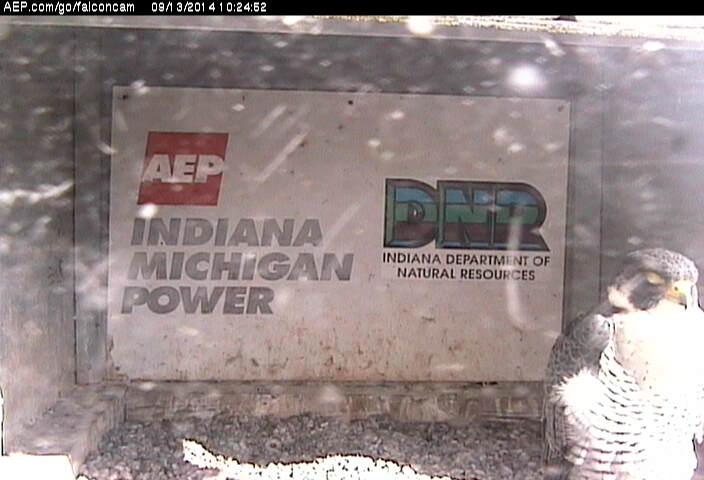 Indiana/Fort Wayne,I-AEP: Jamie(92/D) en Moxie(99/E) 2014 - Pagina 4 Falcon88