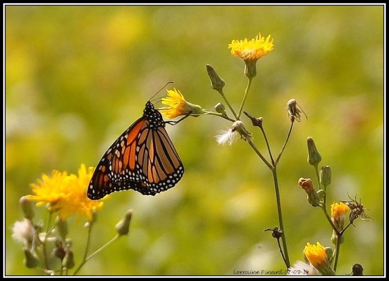 Monarques dans les champs de Mirabel 07-09-11