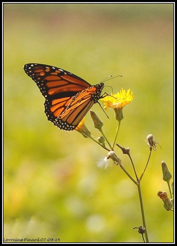 Monarques dans les champs de Mirabel 07-09-12