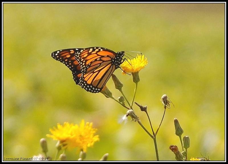Monarques dans les champs de Mirabel 07-09-13