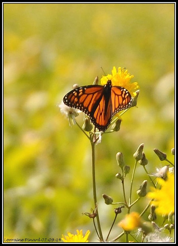 Monarques dans les champs de Mirabel 07-09-14