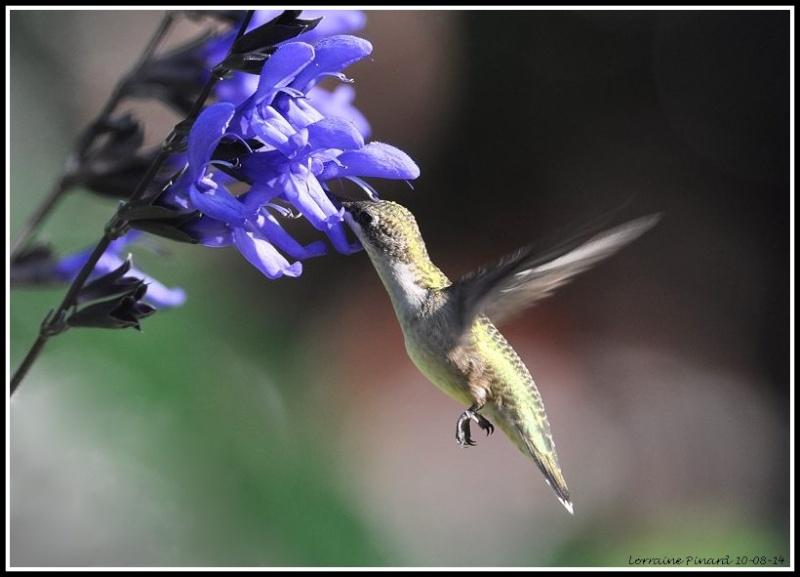 Colibri dans les fleurs 10-08-12
