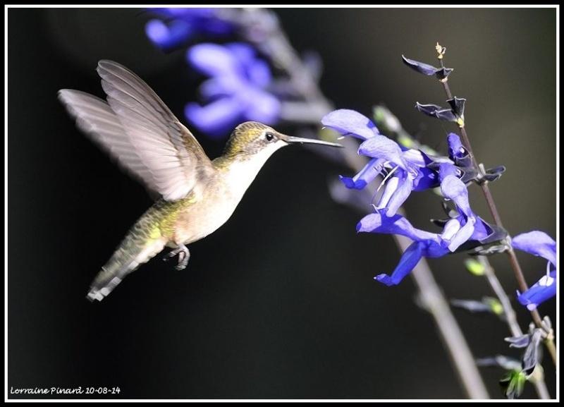 Colibri dans les fleurs 10-08-13