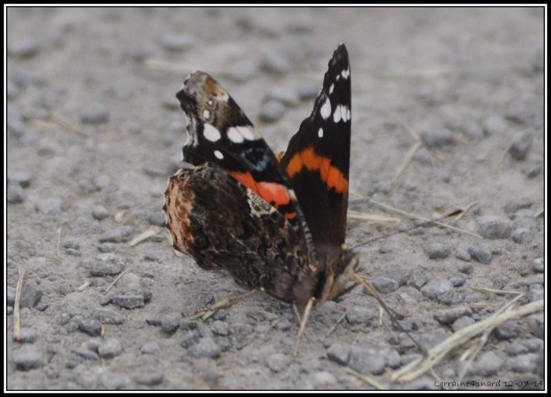 Papillon Vulcain 12-07-10