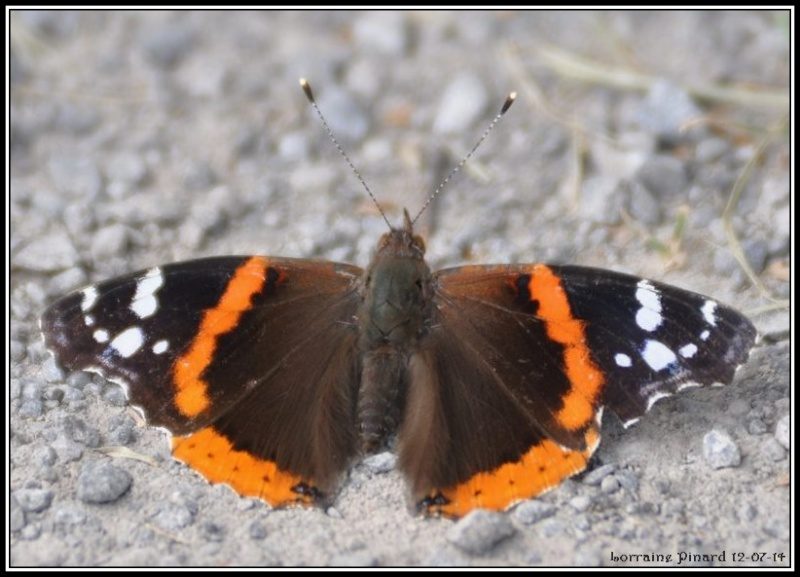 Papillon Vulcain 12-07-11