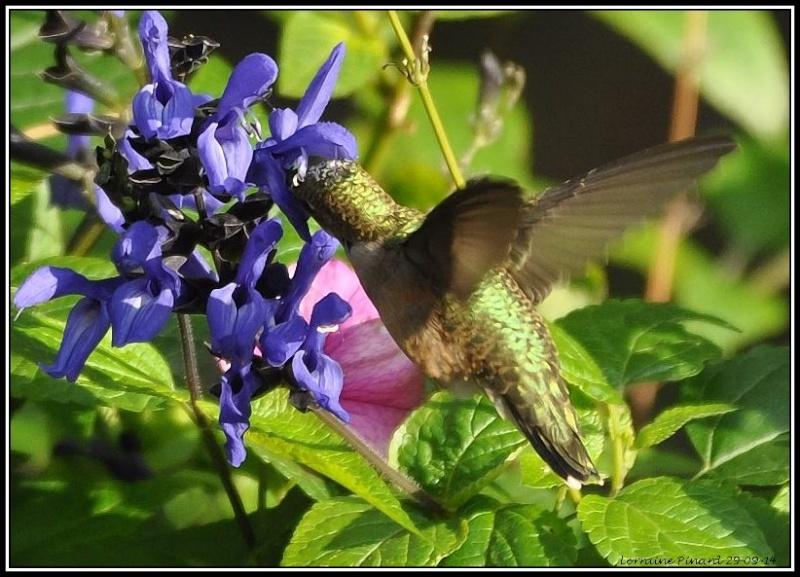 Colibri le 29 septembre 29-09-10