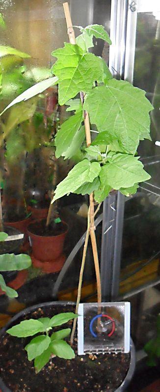 Papaye semis Papaye10