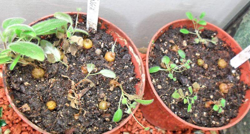 Evolution de mes semis de Sinningia  Sinnin13