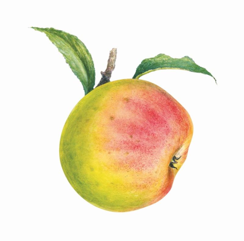LE NIVOT EDITIONS/ Tomber dans les Pommes Pommes10
