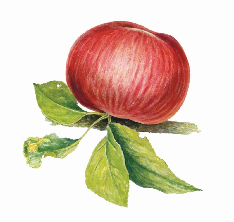 LE NIVOT EDITIONS/ Tomber dans les Pommes Pommes11