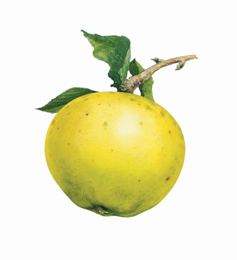 LE NIVOT EDITIONS/ Tomber dans les Pommes Pommes12