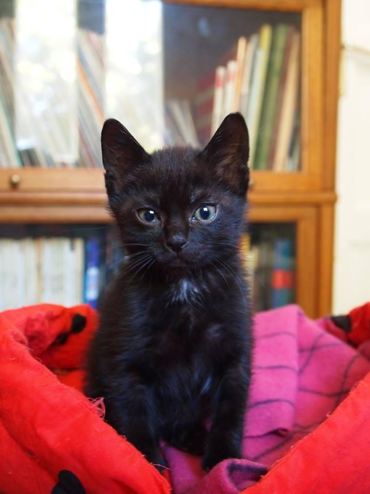 adoptéJaffar chaton noir 2mois chateki04 10671210