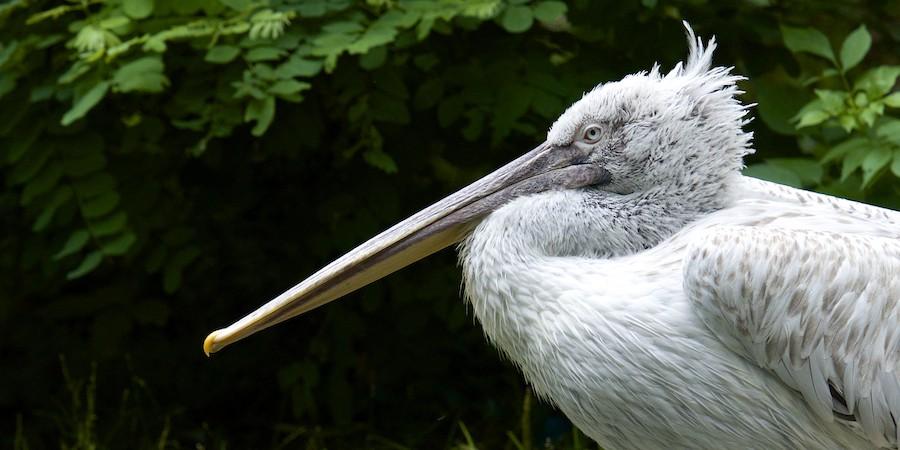 Pelican gris 2014-028