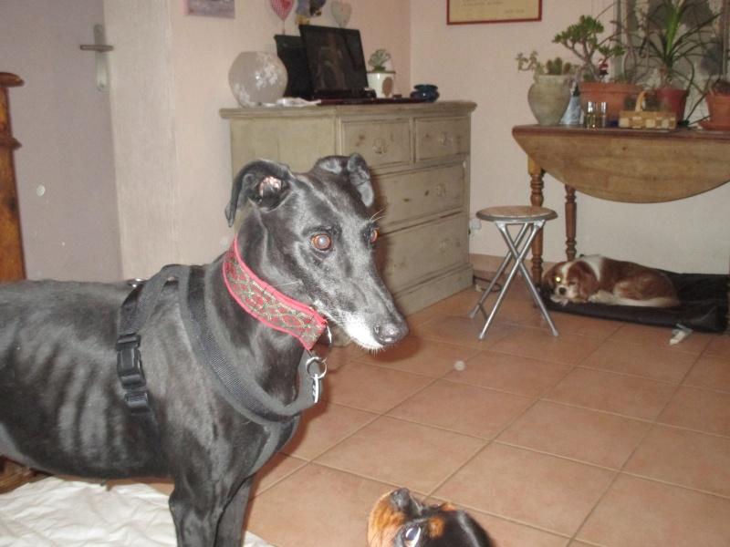 (Virtudes)LARA,  petite galga de 9 ans à l'adoption Scooby France Adoptée  - Page 5 Img_0914