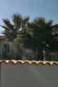 [Washingtonia robusta] quel est le nom des ces palmier svp merci :)  Img_3211