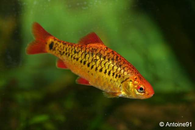 Petit aquarium pour alevins de poisson - Page 2 Barbus10