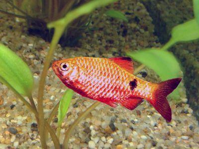 Petit aquarium pour alevins de poisson - Page 2 Barbus11
