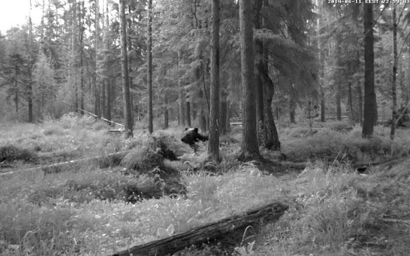 Alataguse Bear Cam 2013 - Page 6 Vlcsna11