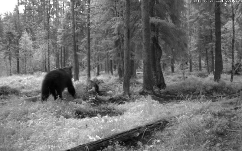 Alataguse Bear Cam 2013 - Page 6 Vlcsna15