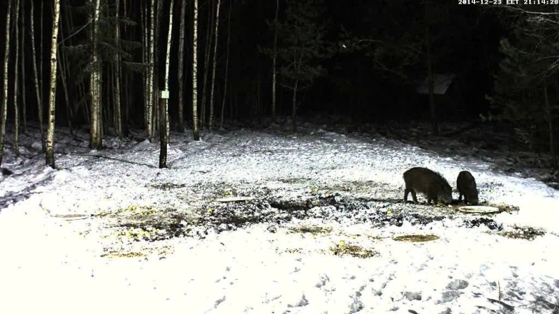 Boar cam Winter 2014-2015 - Page 3 Vlcsna53