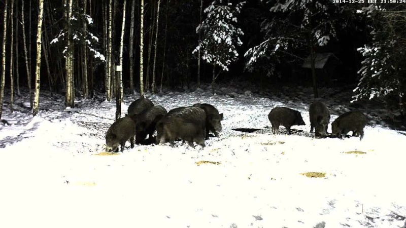 Boar cam Winter 2014-2015 - Page 4 Vlcsna59