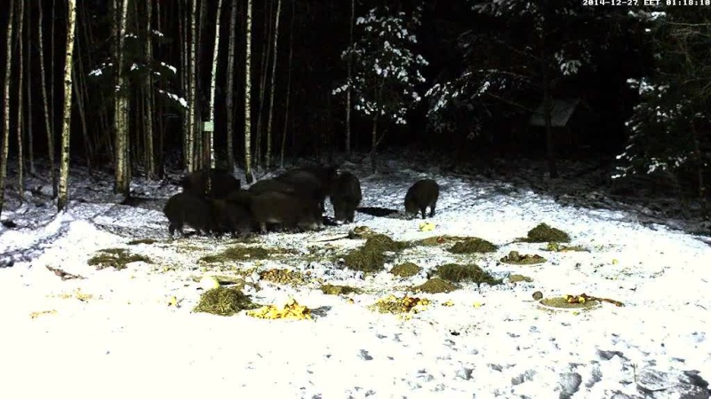 Boar cam Winter 2014-2015 - Page 4 Vlcsna70