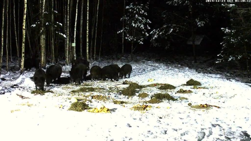 Boar cam Winter 2014-2015 - Page 4 Vlcsna71