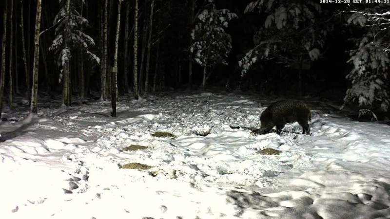 Boar cam Winter 2014-2015 - Page 4 Vlcsna82