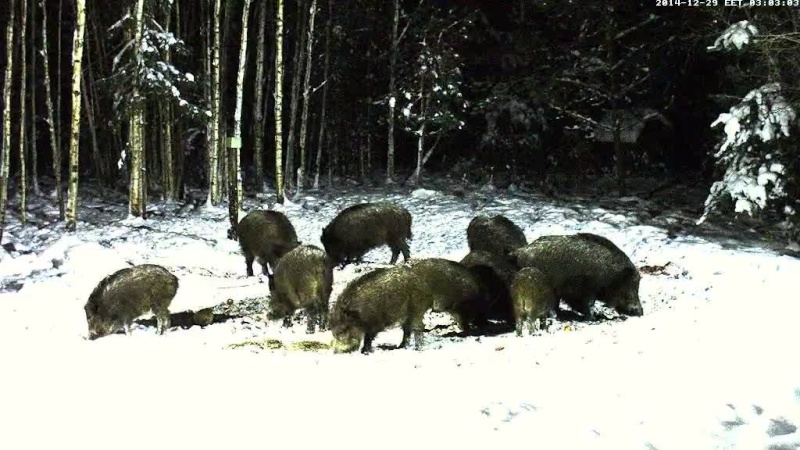 Boar cam Winter 2014-2015 - Page 4 Vlcsna87