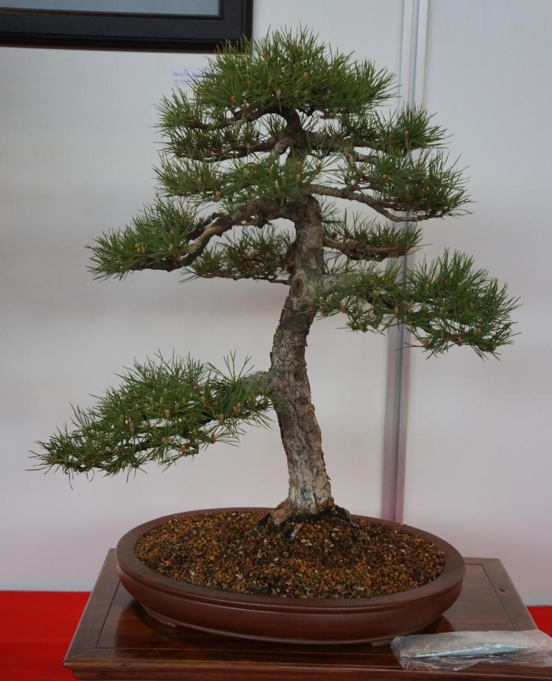 Bonsai Slovakia Pine10