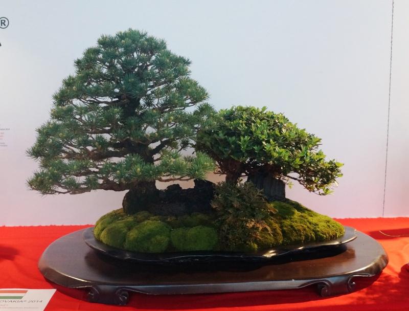 Bonsai Slovakia Pine_a10