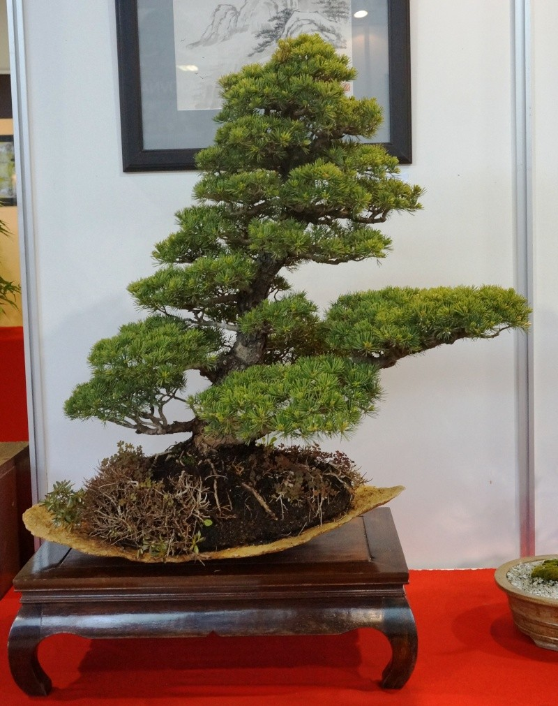 Bonsai Slovakia Pinus_10