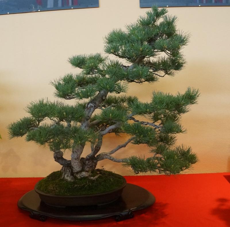 Bonsai Slovakia Pinus_11