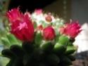 INCROYABLE !!!  mammillaria polythele inermis Fleurs10