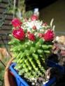 INCROYABLE !!!  mammillaria polythele inermis Fleurs11