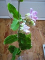 plante grimpante... qui est elle ?  Araujia sericofera Plante10