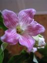plante grimpante... qui est elle ?  Araujia sericofera Plante11
