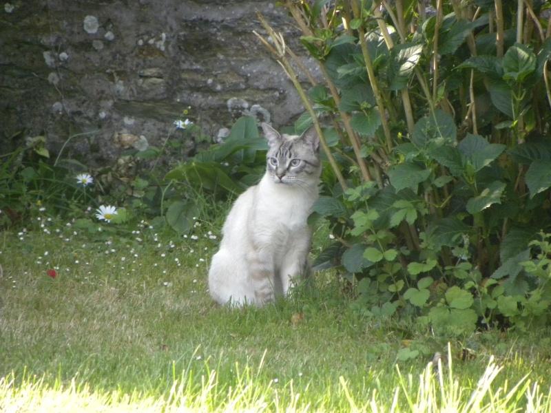 perdu CACHOU chat siamois à néron 35150 Amanlis (29 aôut 2012) Dscn1610